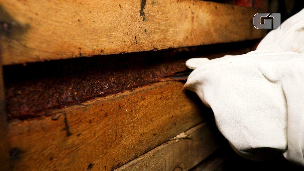 Própolis vermelho de Alagoas: em meio a destinos turísticos, abelhas movimentam pesquisas