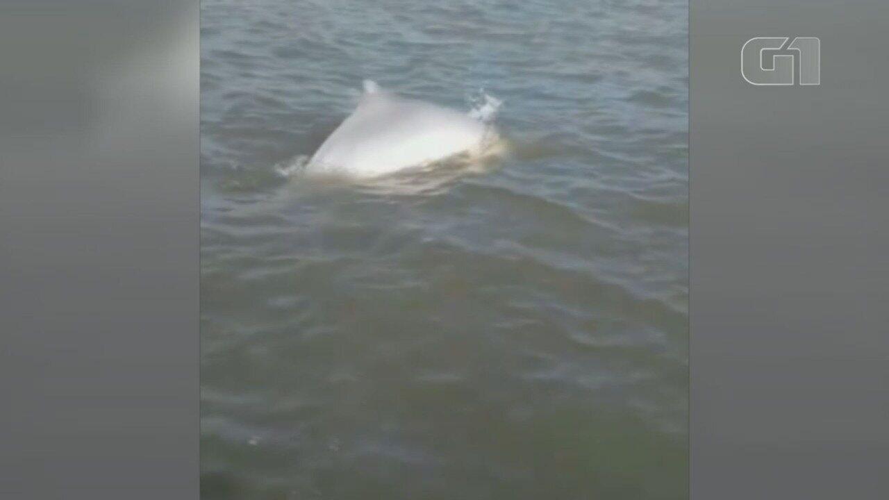 Golfinho adulto afunda corpo de filhote morto como proteção, em Cananeia (SP)