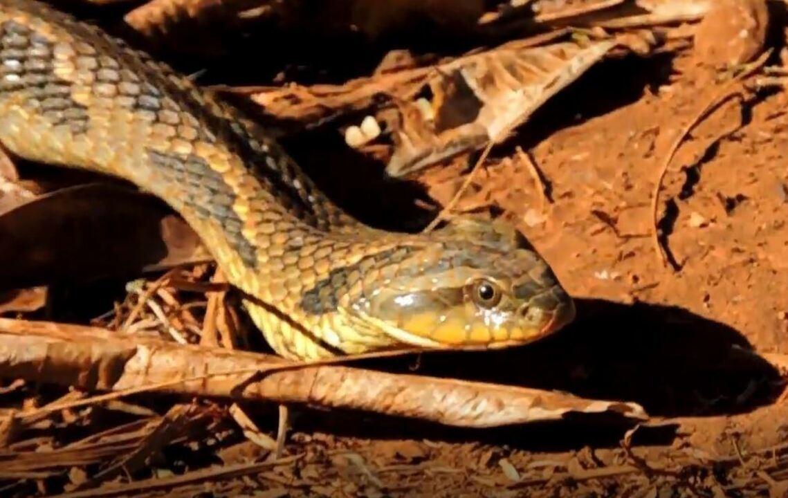 Cobra é flagrada em Unesp de Jaboticabal (SP)