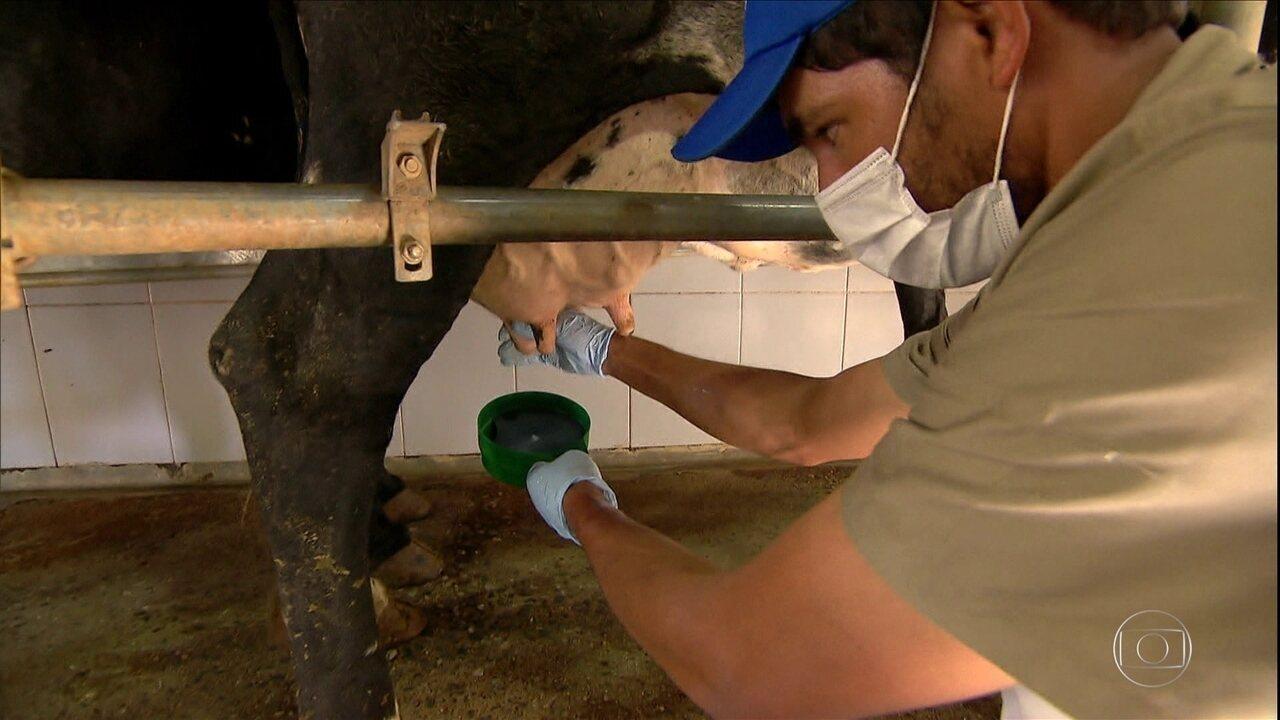 Veterinário ensina como tratar a mastite nas vacas