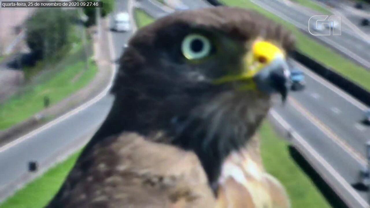 Assista: gavião é flagrado por câmera de monitoramento na Rodovia Anhanguera, em Campinas
