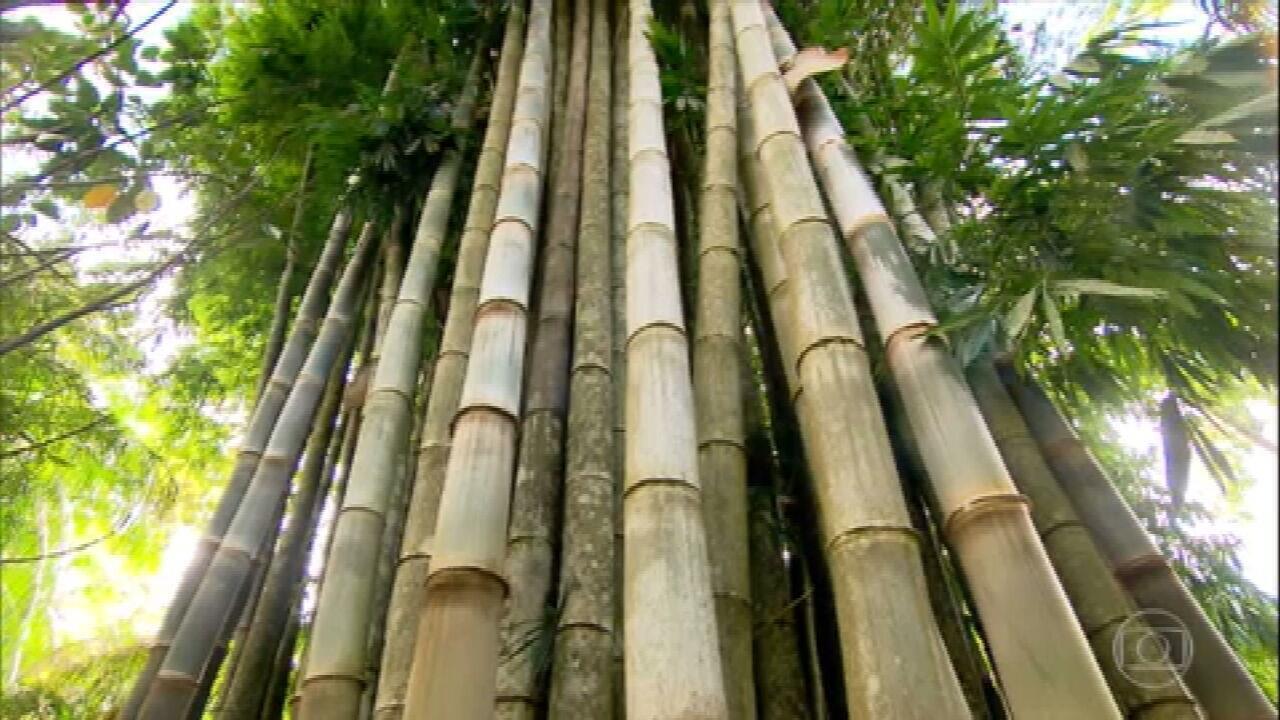 Reveja reportagem sobre a versatilidade do bambu