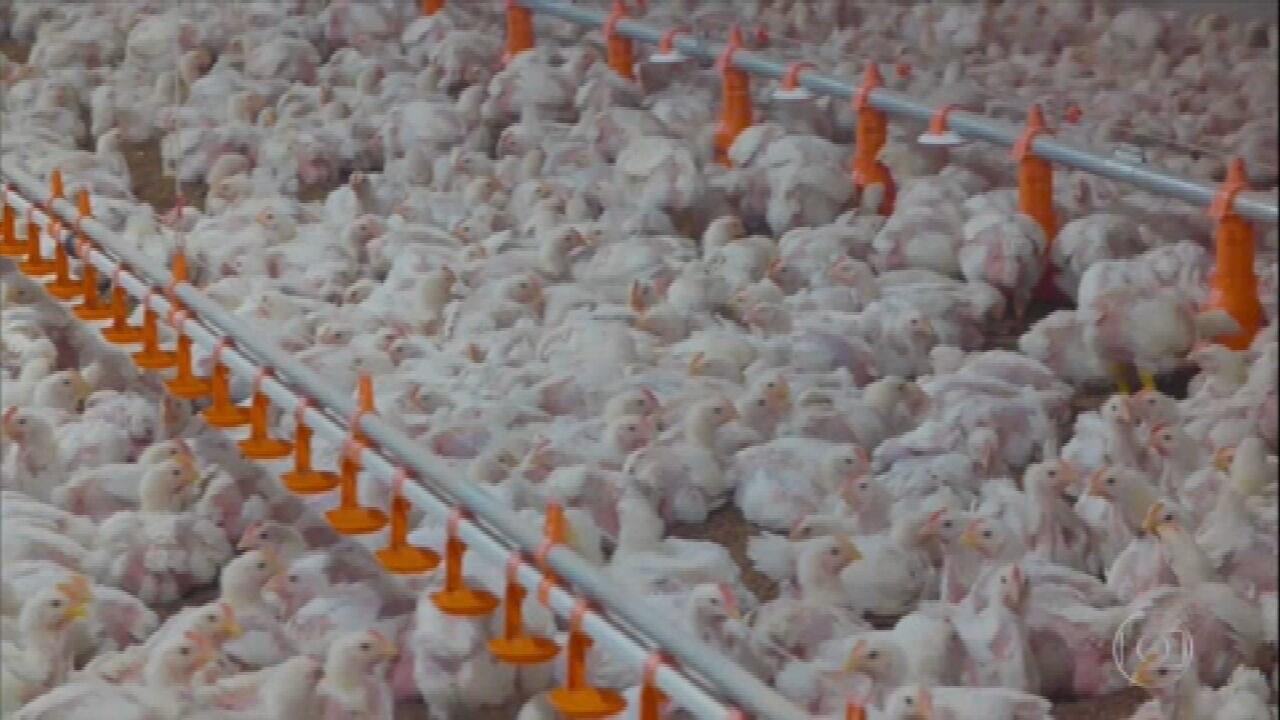 Produção de frango no RS diminui com aumento do preço da ração